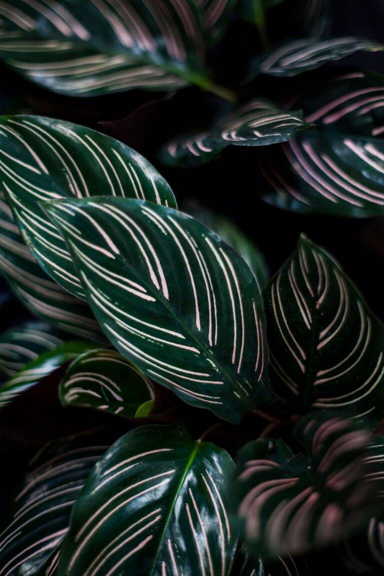 Pokojová kytka Calathea sanderiana ornata