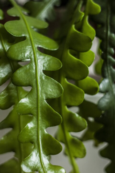 epiphyllum Zig zag fishbone cactus