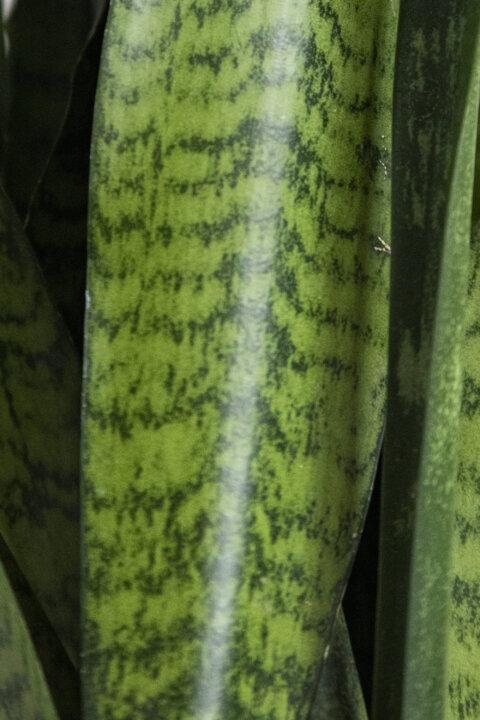 sansevieria zeylanica tchynin jazyk