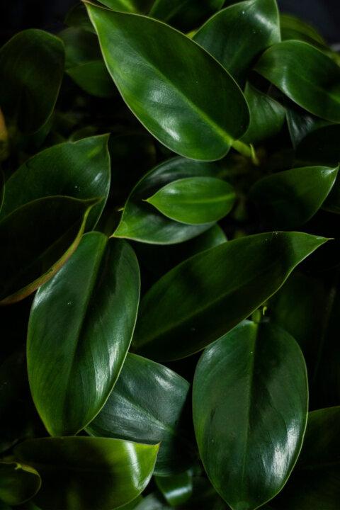 philodendron congo green