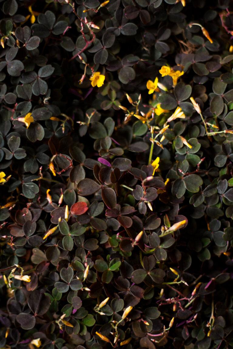 oxalis vulcanicola