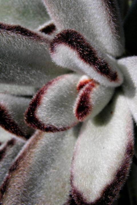 cotydelon tomentosa