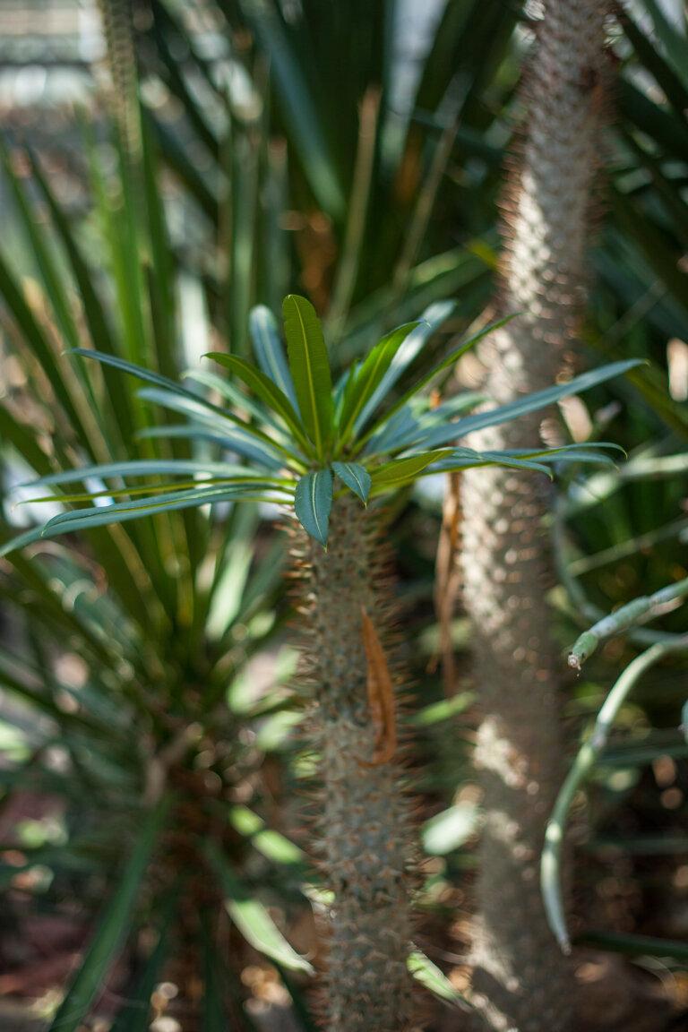 euphoriba cocklebur