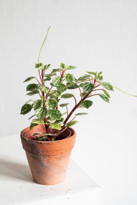 peperomia cap. variegata