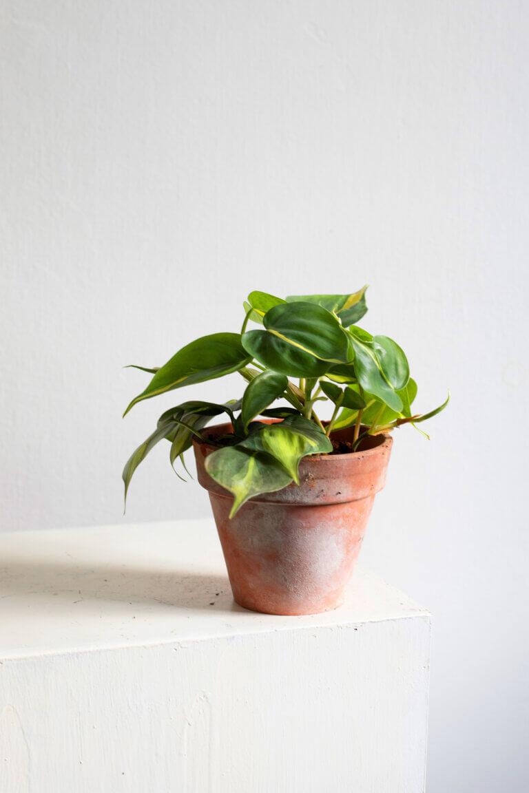 Philodendron Brasil