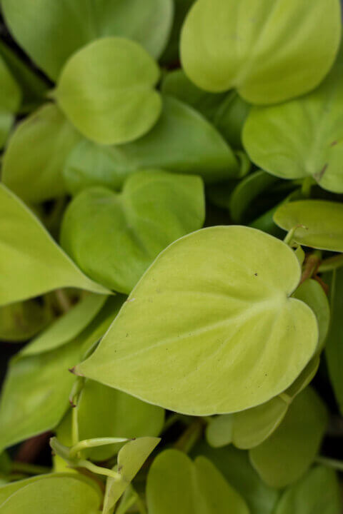 philodendron hedacerum lemon lime
